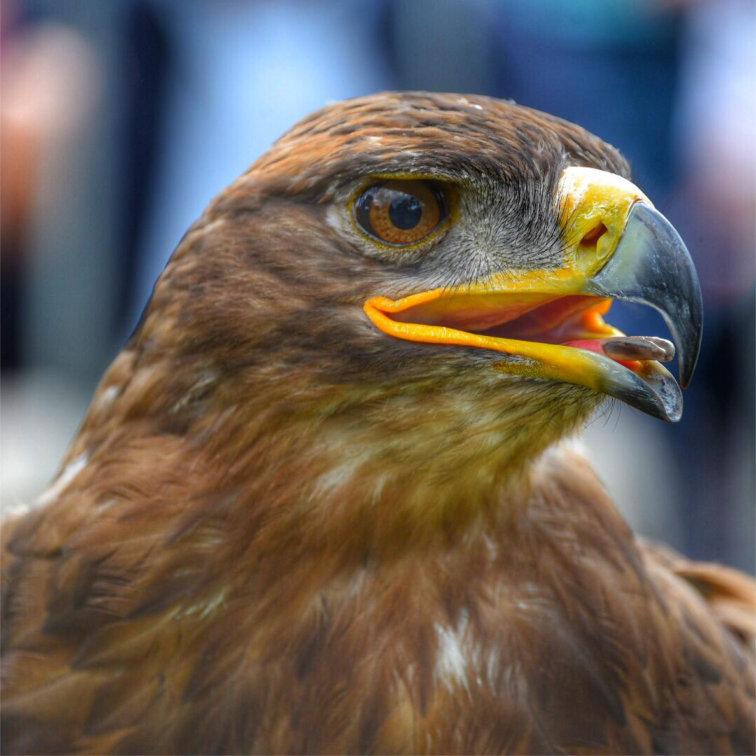 Biologisch verantwoorde vogelbestrijding met een roofvogel